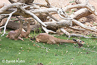 0523-1111  Small Herd of Gerenuk, Resting, Litocranius walleri  © David Kuhn/Dwight Kuhn Photography