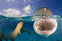 Lemon sharks, Negaprion brevirostris, split view, close up of mouth and teeth, Bahamas, Caribbean Sea, Atlantic Ocean