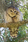 Brazoria County, Damon, Texas; an adult Barred Owl preens its feathers while perched overhead on the branch of a large, live oak tree with spanish moss, in early morning shadows