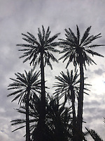 Date Palm in an oasis at Ouazazarte, Morocco
