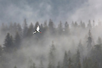 Caspian Tern flying in front of Misty Trees in Glacier Bay, Alaska.
