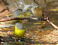 Nashville warblers bathing while a red-eyed vireo waits
