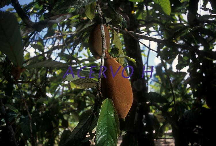 Cupuaçu (Theobroma grandiflorum) é uma fruteira nativa da região amazônica e foi introduzida no sul da Bahia em 1930, na antiga Estação Experimental de Água Preta, no município de Uruçuca. Geralmente é procurado pelo sabor típico de seus frutos, em que há o aproveitamento da polpa e das sementes pelas indústrias alimentícias e de cosméticos, em virtude de suas propriedades sensoriais e químicas. O seu fruto mede de 12 a 15 cm de comprimento e tem de 10 a 12 cm de diâmetro, apresentando em média peso de 1 kg, sendo 30% de polpa e 35 sementes.<br /> <br /> Tefé, Amazonas,  Brasil<br /> Foto Paulo Santos/acervoh<br /> 27/11/2004