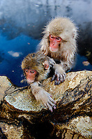 Snow monkeys or Japanese macaque, at Jigokudani Yaenkoen Park