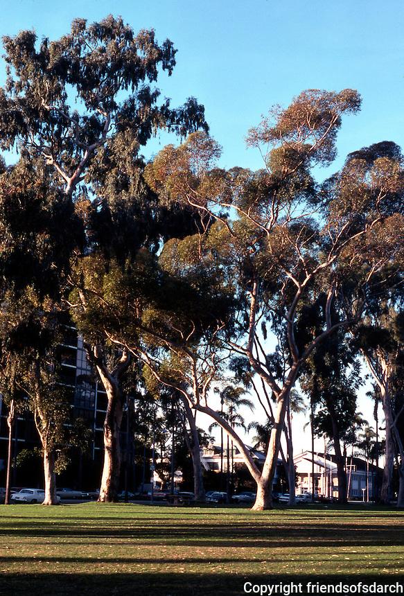 San Diego: Balboa Park--eucalyptus trees.