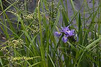 IR03-502z  Wild Iris, Blue Flag, Fleur-de-lis, Iris Versicolor