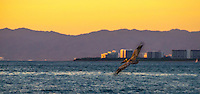 Sunset Photograph of a Pelican soaring over the ocean at Banderas Bay in Puerto Vallarta Mexico.