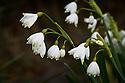 Summer snowflake (Leucojum aestivum 'Gravetye Giant'), late March.