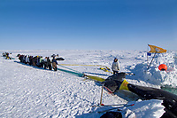 residents of the Inupiaq village of Barrow help a whaling crew pull up a 48 foot 8 inch bowhead whale, Balaena mysticetus, catch, Chukchi Sea, Arctic Alaska