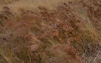 Flow<br /> Autumn Grasses in El Cap Meadow