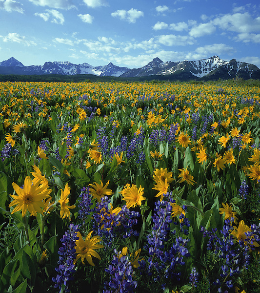 Sneffels Range with blue Lupine and Mule's Ear flowers, Telluride, Colorado. John guides custom photo tours in the Sneffels Range and throughout Colorado.