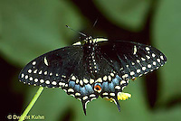LE32-013b  Butterfly - Eastern Black Swallowtail adult - Papilio polyxenes
