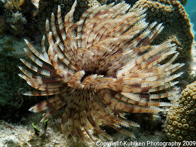 Feather duster worm, Culebra Puerto Rico 2008