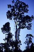 Para, Amazon, Brazil. Rainforest trees in silhouette at nightfall. Brazil nut trees.