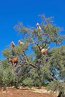 Goats feeding on Argan nuts in an Argon tree. Near Essouira,, Morocco