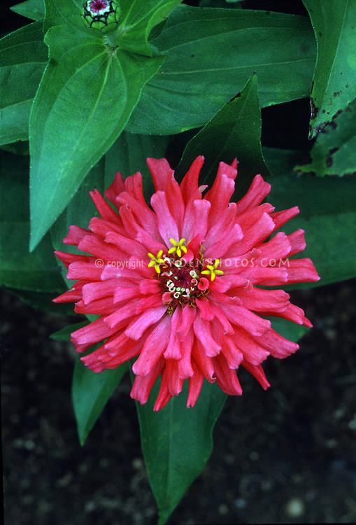Zinnia Peter Pan Flame, pink red