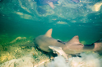 lemon shark swims through shallow lagoon, dropping a litter of pups, Negaprion brevirostris, Bahamas, Caribbean Sea, Atlantic Ocean
