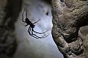 European Cave Spider (Meta menardi) in limestone cave. Plitvice Lakes National Park, Croatia. January.
