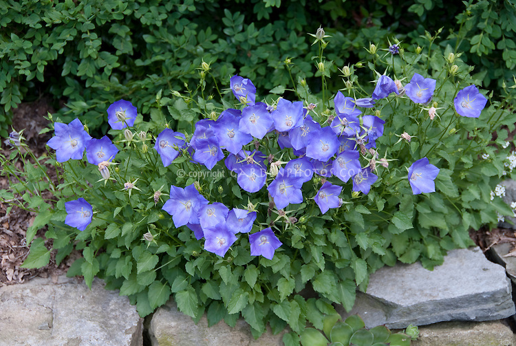 Campanula carpatica blue flowers growing on stone wall in garden, clump perennial plant