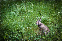 A backyard baby bunny.