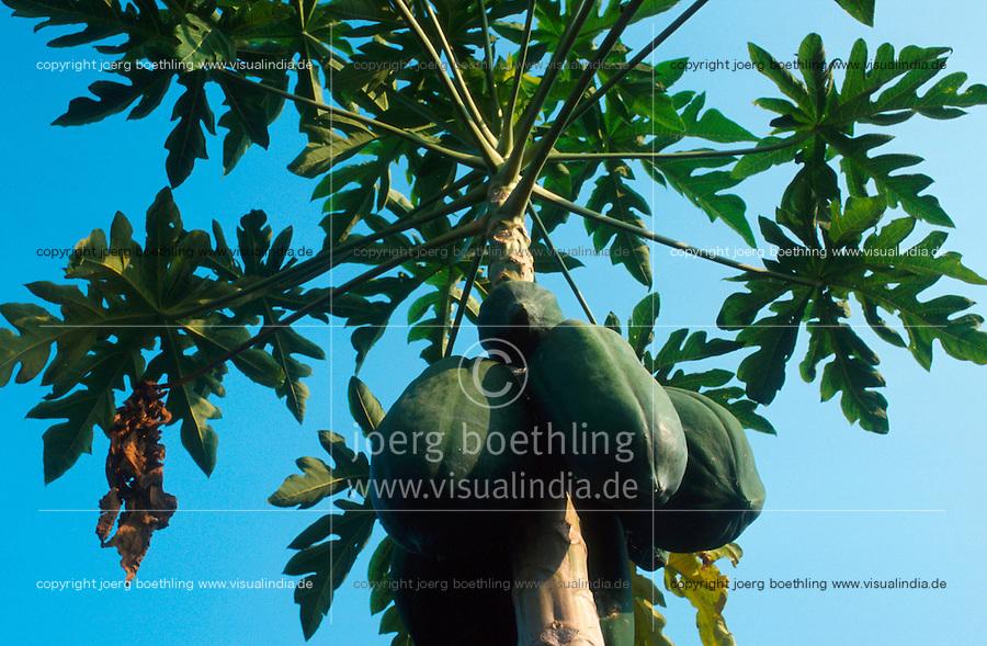 INDIA papaya fruit at tree / Indien Papaya Baum Früchte Tropenfrucht Frucht Obst