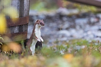 Short-tailed weasel stands up by a water barrel, Alaska Range mountains.