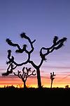 Sunrise, Joshua Tree National Park, California, USA