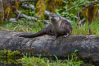 North American river otter (Lontra canadensis) on fallen log in old beaver pond, Pacific N.W., spring.