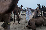 A local man with traditional dress walk passes a herd of camel at Pushkar fair ground. Rajasthan, India.