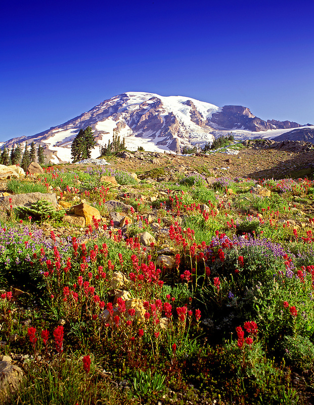 M00276M.tiff   Mount Rainier with Indian Paintbrush, Washington