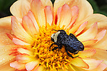 Dahlia bloom bursts with color and a bumble bee.  Point Defiance Park, Tacoma, WA boasts wonderful gardens including rose gardens, dahlia garden, native plant, rhododendron and acres of old growth forest.  Hike, bike, photograph, fish, picnic, kayak