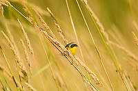 Male Common Yellowthroat (Geothlypis trichas).  Pacific Northwest.  Summer.