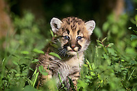 Mountain Lion cub or Cougar Kitten (Felis concolor)