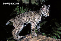 MA26-055z  Bobcat - young - Felis rufus