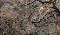 Burned Oak trees and branches on hillside; Fire damage and recovery from Nuns fire October 2017, Sonoma Valley Regional Park, California