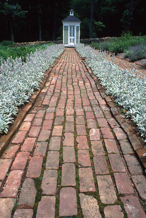 Straight Brick path through Stachys byzantina lamb's ears groundcover with silvery leaves.