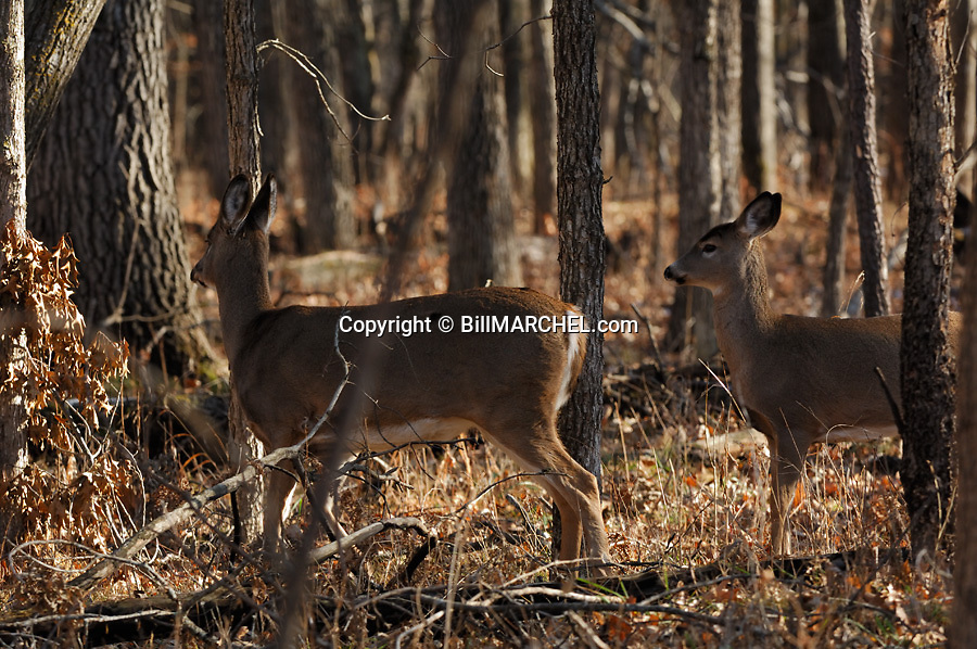 00275-196.09 White-tailed Deer (DIGITAL) doe and fawn are in hardwoods forest during fall.  Hunting, oaks, acorns.  H4L1