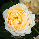 Rosa Teasing Georgia ('Ausbaker'), early June. A modern shrub rose from David Austin, 1998. Flowers are creamy white at the edges and golden yellow in the centre, cupped and packed with petals. Strong, sweet, fragrant scent. Named for Mr Ulrich Meyer, after his wife Georgia, both of whom are well known media personalities in Germany.