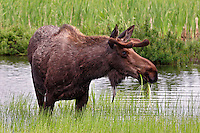 A small bull moose at Potter's Marsh, Anchorage, Alaska