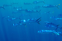 Dorado or Mahi mahi School, Coryphaena hippurus, Gamefish often found recruiting around floating objects such a drift Kelp