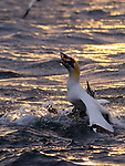 """WITH VIDEO:  Gannets battle for fish after diving into the water as a feeding frenzy erupts among competing birds.  The seabirds try to snatch their prey from each other's mouths, shrieking and pecking, after going hunting in the early morning from their island home on Bass Rock in Scotland's Firth of Forth.<br /> <br /> Part time sports coach and photographer Will Hall, 26, from Winchester, Hants,  said: """"They dive for fish at extraordinary speeds. The noise is incredible. Not only the sight and sound but also the smell!  SEE OUR COPY FOR DETAILS.<br /> <br /> Please byline: Will Hall/Solent News<br /> <br /> © Will Hall/Solent News & Photo Agency<br /> UK +44 (0) 2380 458800"""