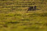 Bobcat (Lynx rufus) in field, Point Reyes National Seashore, California