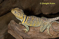1R17-557z  Collared Lizard, Male, Crotaphytus collaris