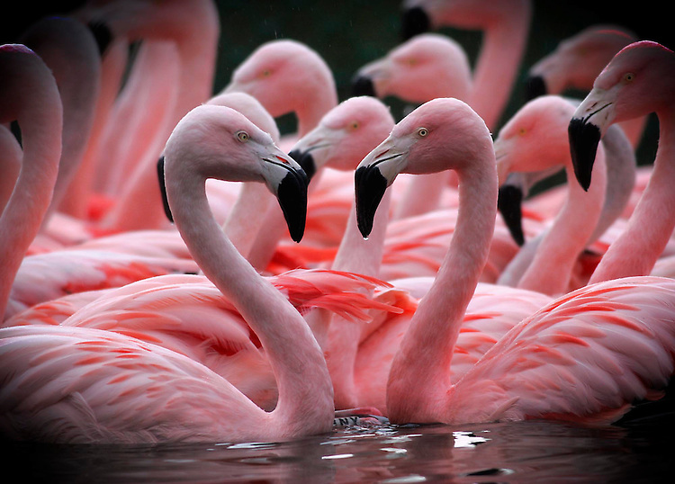 Love Heart's in all shapes........Chilean Flamingos pictured here on display in Dublin Zoo as part of the eagerly awaited Love Trail launched for the entire month of February at both Dublin Zoo and Fota Wildlife Park. Pic. Robbie Reynolds.