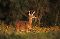 White-tailed Deer, Odocoileus virginianus, Buck in Wildflowers, Willacy County, Rio Grande Valley, Texas, USA, May 2004