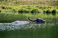 African Water buffalo.
