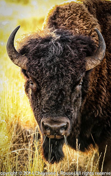 Bison portrait - Antelope Island SP - Utah
