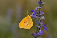 Sleepy Orange (Eurema nicippe), Lost Maples State Natural Area, Hill Country, Texas, USA