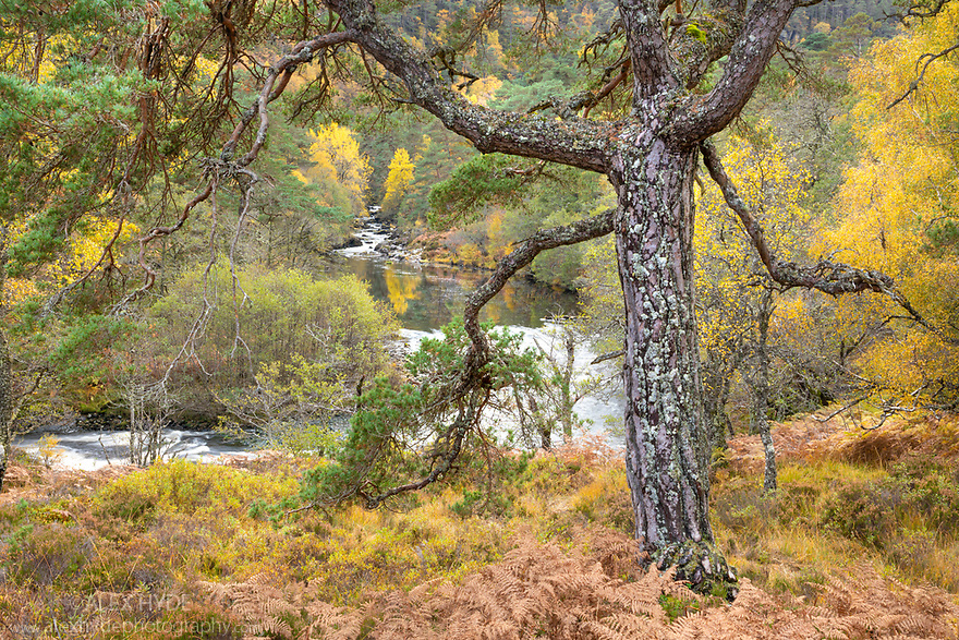 Scots Pine (Pinus sylvestris) in Caledonian forest, Glen Strathfarrar, Scottish Highlands. Scotland. October.