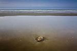 Horseshoe crab (Limulus polyphemus) on the Carolina Coast, Isle of Palms, SC, USA